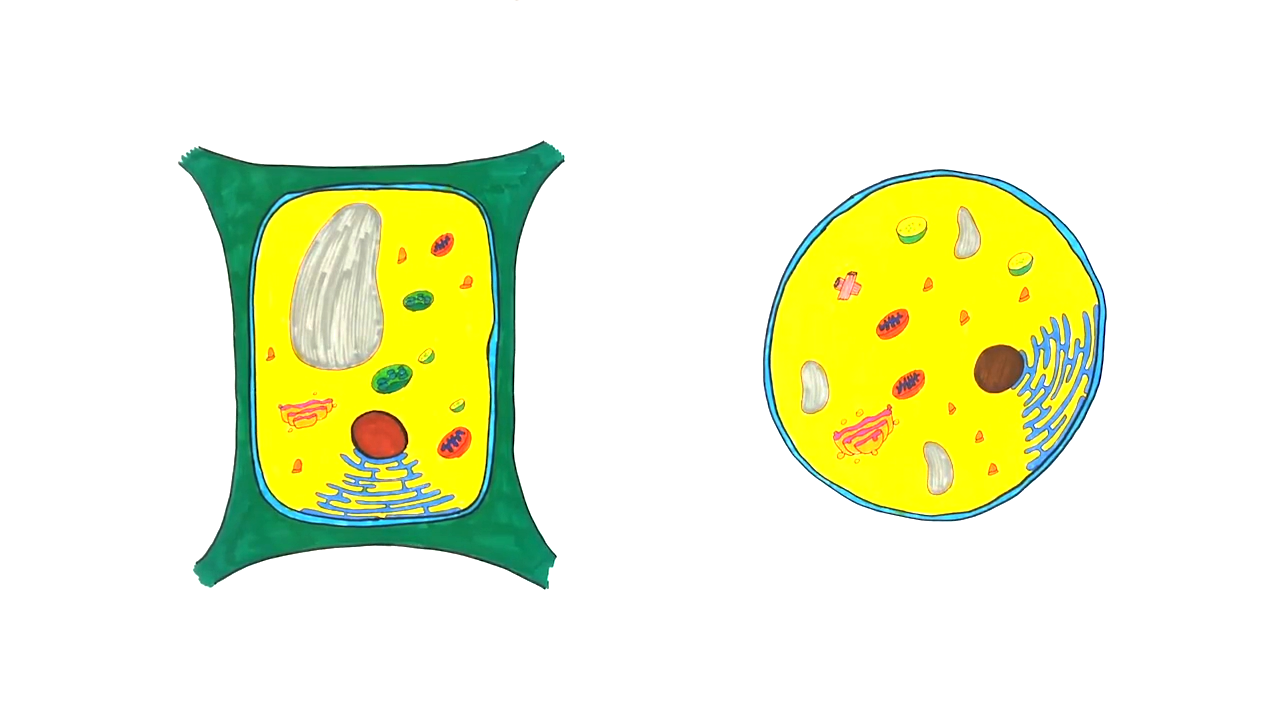Hücre konusu Bitki ve Hayvan Hücresi Karşılaştırılması eğitimi