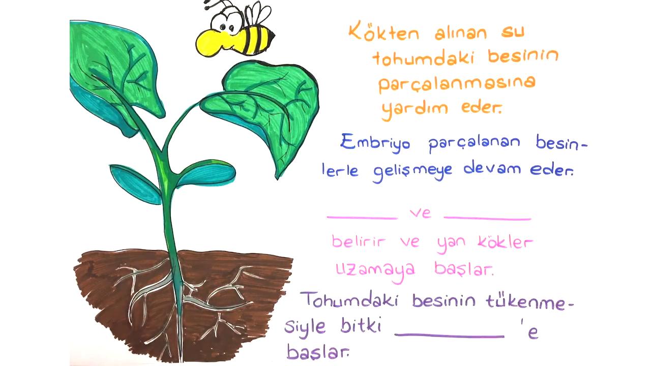 Büyüme ve Gelişme konusu Çiçekli Bitkilerde Büyüme ve Gelişme eğitimi