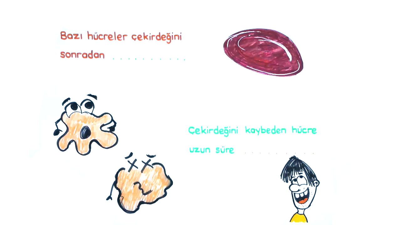 Sitoplazma ve Çekirdek konusu Çekirdek eğitimi