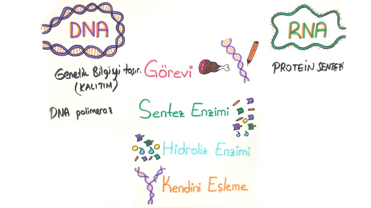Nükleik Asitler ve ATP konusu DNA - RNA Karşılaştırması eğitimi