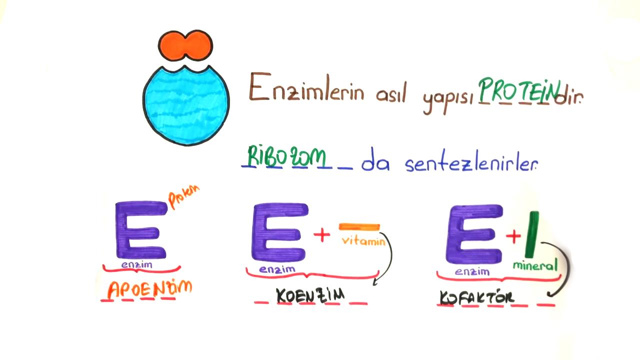 Proteinler ve Enzimler konusu Enzimler eğitimi