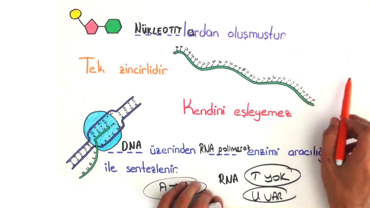 Nükleik Asitler ve ATP konusu Nükleik Asitler - RNA eğitimi