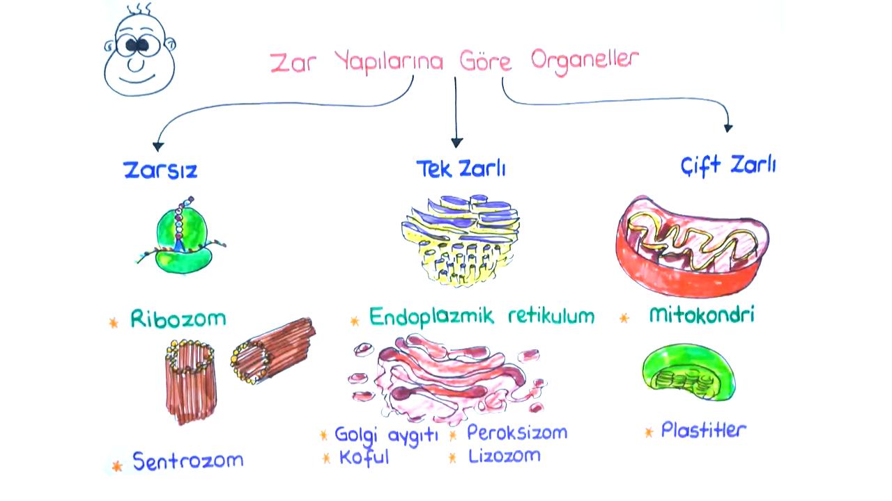 Sitoplazma ve Çekirdek konusu Sitoplazma ve Organeller - I eğitimi
