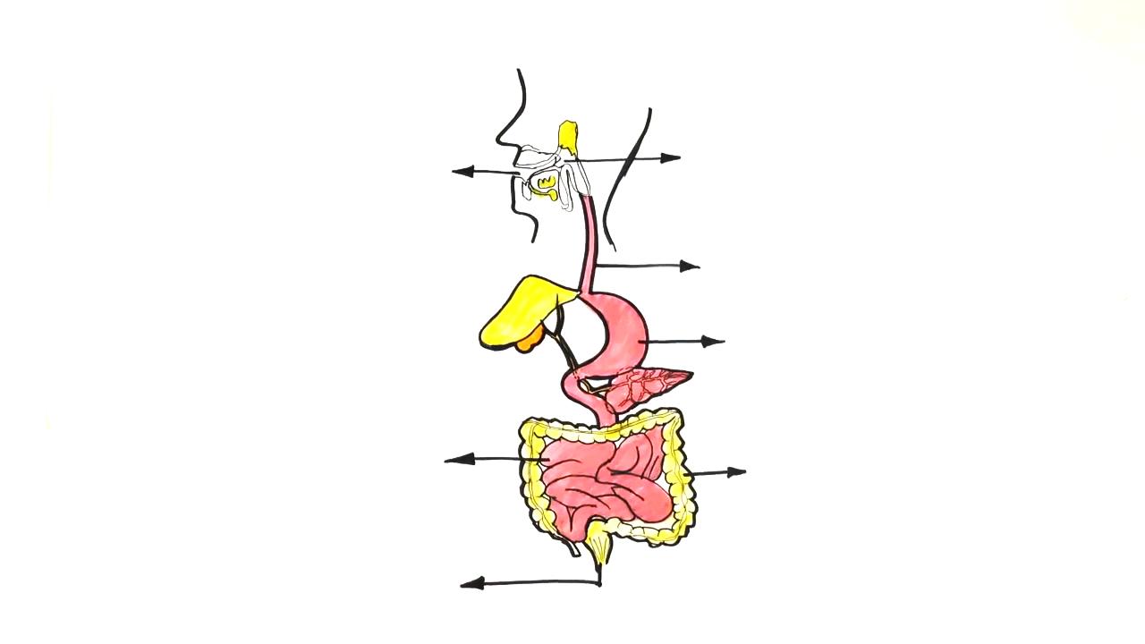 Sindirim Sistemi konusu Sindirim Sistemi Yapı ve Organları eğitimi