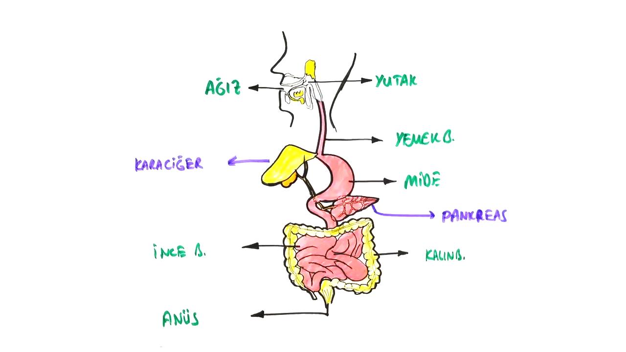 Sindirim Sistemi konusu Sindirim Sistemindeki Yardımcı Organlar eğitimi
